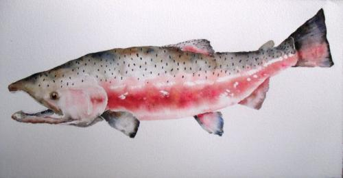 Red King Salmon: Watercolor Paintings by Amy Beidleman